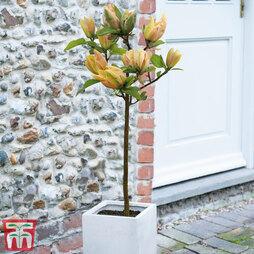 Magnolia 'Sunspire'