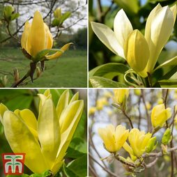 Magnolia 'Deep Yellow'