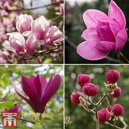 Magnolia 'Deep Rose'