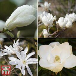 Magnolia 'White'