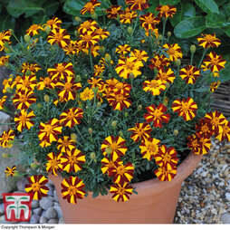 Marigold 'Mr Majestic'