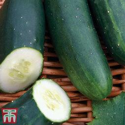 Organic Cucumber 'Marketmore'
