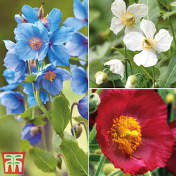 Meconopsis 'Union Jack' Collection