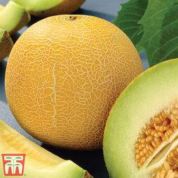 Melon 'Galia' F1 Hybrid