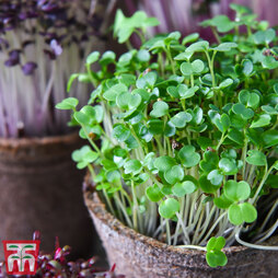 Microgreens Broccoli 'Green'