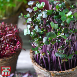 Microgreens Cabbage 'Red'