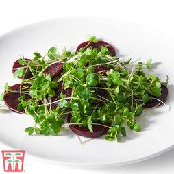 Microgreens Kale 'Nero di Toscana'