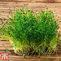 Microgreens Chives 'Garlic'