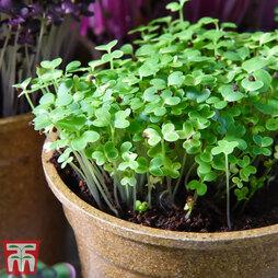 Microgreens Mustard 'Wasabina Improved'