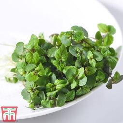 Microgreens 'Perilla/Shiso Red'