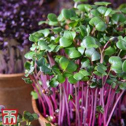 Microgreens Radish (Leaf) 'Sangria'