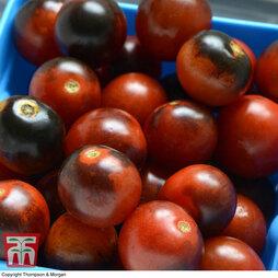 Tomato 'Midnight Snack'