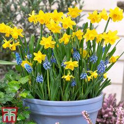 Plant-O-Tray Patio Prepanted Narcissus & Scilla