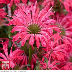 Monarda 'Electric Neon Pink'