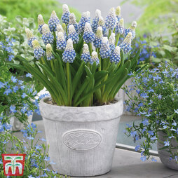 Muscari armeniacum 'Mountain Lady'