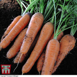 Organic Carrot 'Nantes 2' (Early maturing)