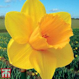 Narcissus 'Trelawney Gold'