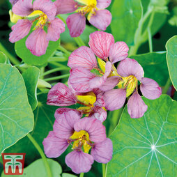 Nasturtium 'Purple Emperor'