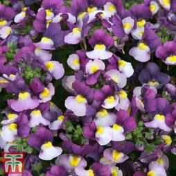 Nemesia 'Honey Dark Purple' (Honey Series)