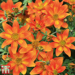 Bidens 'Hawaiian Flare Neon Orange'