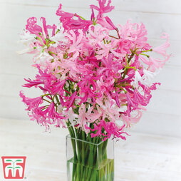 Nerine bowdenii 'Mixed'