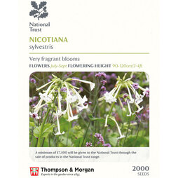 Nicotiana sylvestris (National Trust)