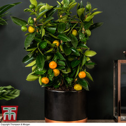 Calamondin Orange - Citrus Trellis (House Plant)