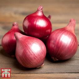 Onion 'Retano' (Spring Planting)