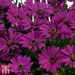 Osteospermum Falling Stars'™ 'Erato Basket Purple'