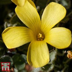 Oxalis melanosticta 'Ken Aslet'
