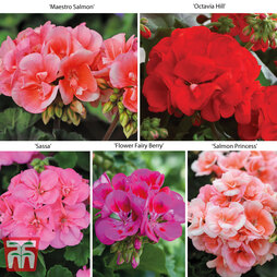 Giant Geranium Collection