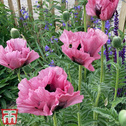 Poppy 'Pink Perfection'