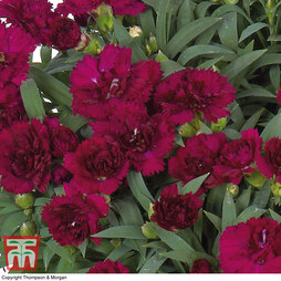 Dianthus caryophyllus 'Paseo' (Sunflor Series)
