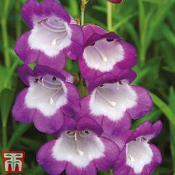 Penstemon Czar'