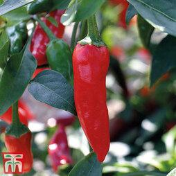 Chilli Pepper 'Apache' F1 Hybrid