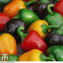 Sweet Pepper 'Mini Bell Mixed'