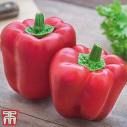 Sweet Pepper 'Bontempi'