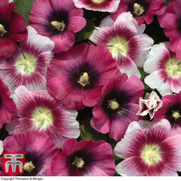 Hollyhock 'Halo Perfect Pink'