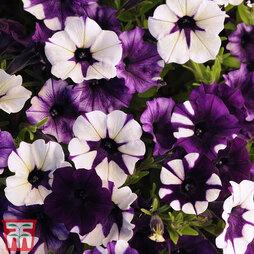 Petunia 'Purple Tie Dye'