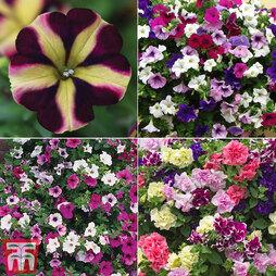 Petunia Saver Collection