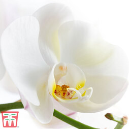 Phalaenopsis 'Star White' (House Plant)