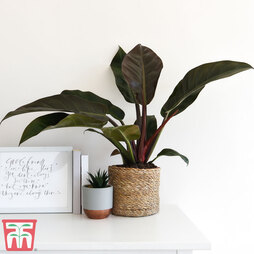Philodendron 'Imperial Red' (House Plant)