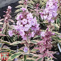 Phlox paniculata 'Olympia'