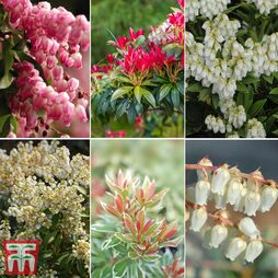 Nurseryman's Choice Pieris