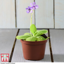 Butterwort (House Plant)