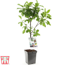 Plum Duo Patio Fruit Trees