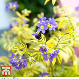 Polemonium 'Golden Feathers'