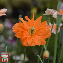 Poppy 'Double Tangerine Gem'