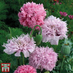Poppy 'Tallulah Belle Blush' - Kew Collection Seeds