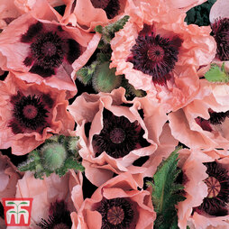 Poppy 'Coral Reef'